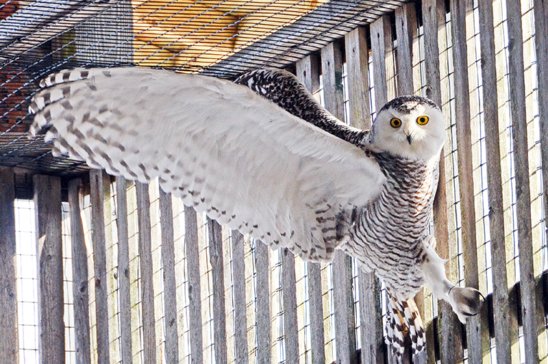 This Snowy owl stretches her wings in one of the flight cages located at the Bernice Barbour Wildlife Clinic.