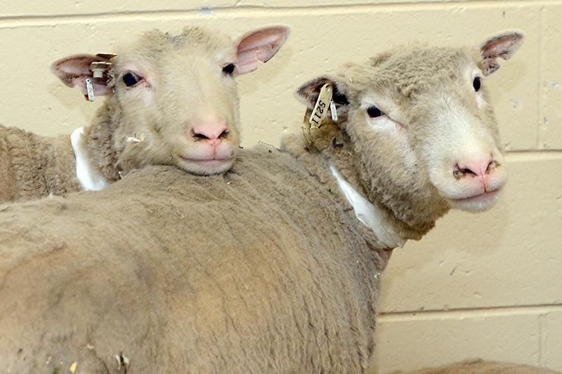1.47-student-livestock-organization-image-2